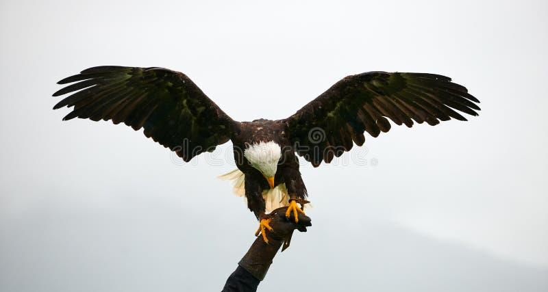 Aigle chauve, fauconnerie photographie stock