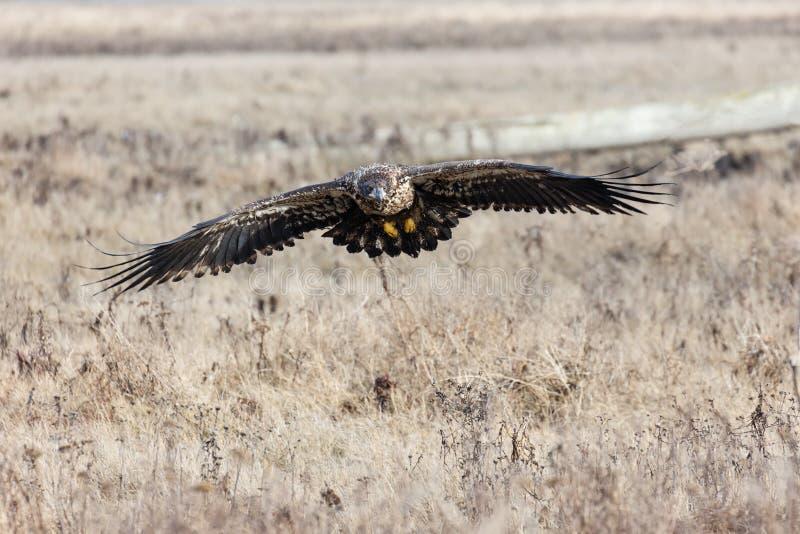 Aigle chauve juvénile photo stock
