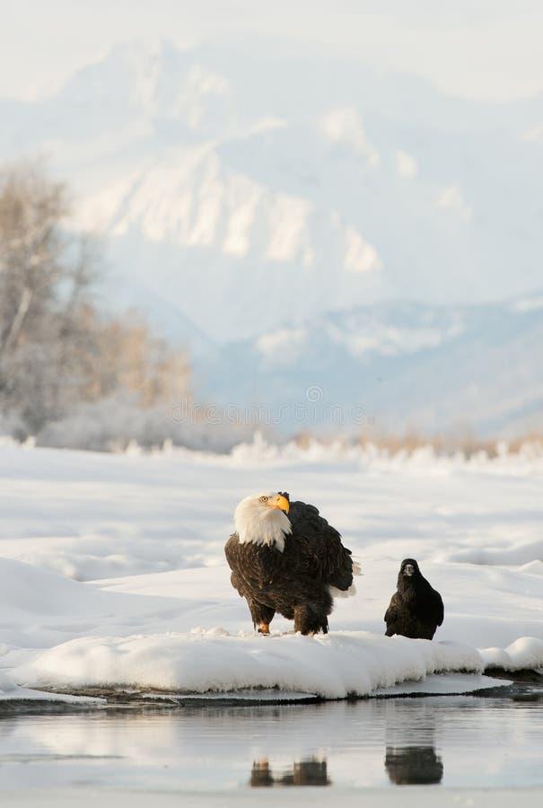 Aigle chauve (leucocephalus de Haliaeetus) et Raven noir. photographie stock libre de droits