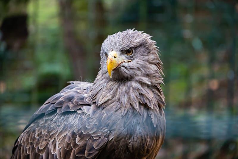 Aigle chauve, se reposant à l'arrière-plan vert de bokehfull images libres de droits