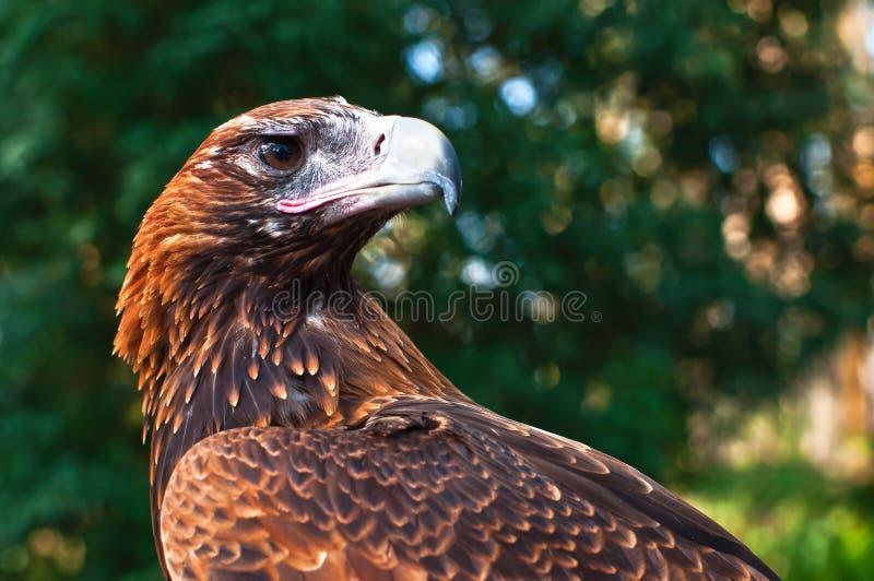 aigle Coincer-suivi photo stock