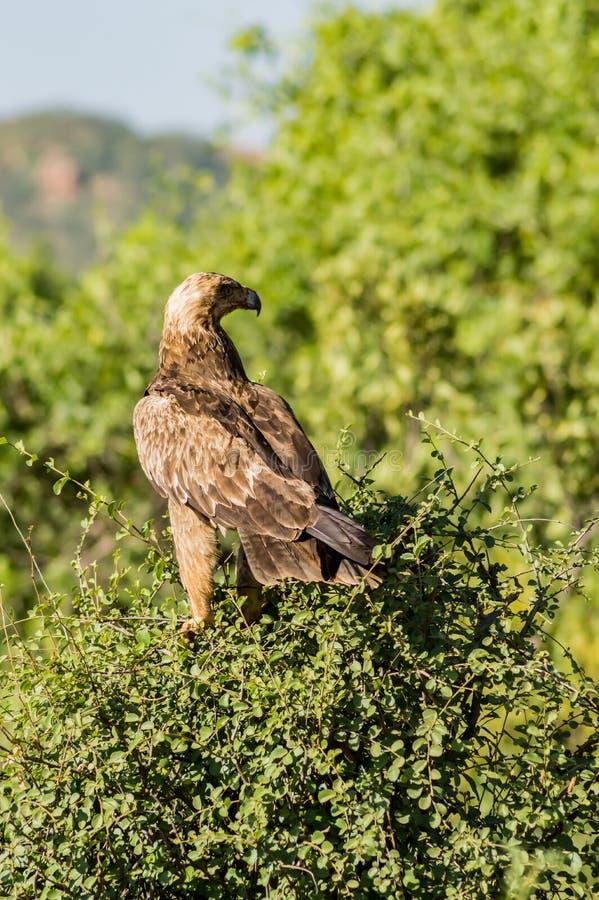 Aigle corbeau sur un arbre dans le parc de samburu photos libres de droits