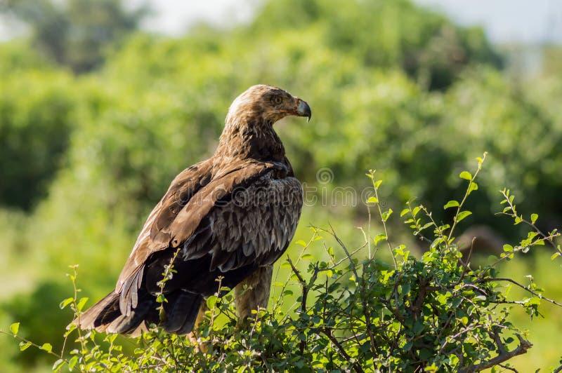Aigle corbeau sur un arbre dans le parc de samburu photographie stock