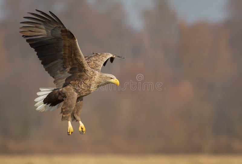 Aigle coupé la queue par blanc train sorti photo libre de droits