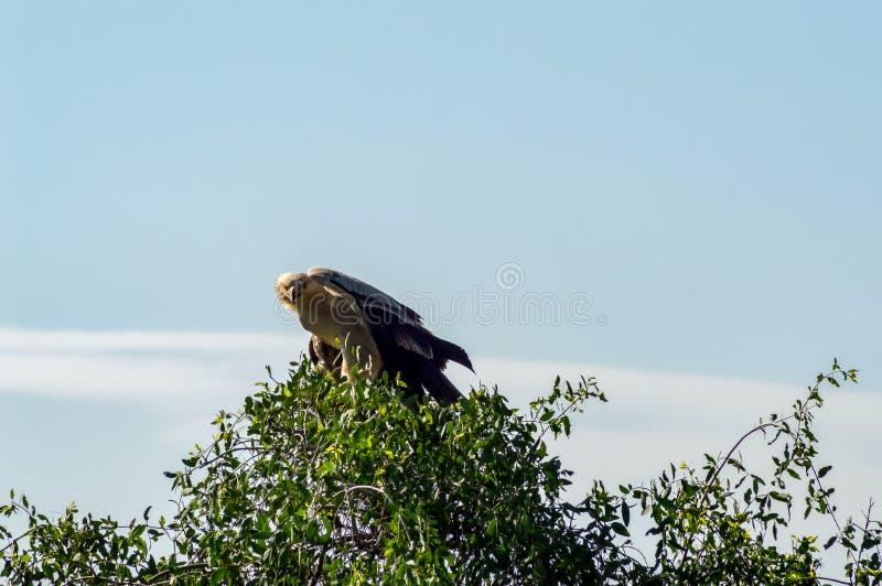 Aigle couronné juvénile perché sur un arbre photo libre de droits
