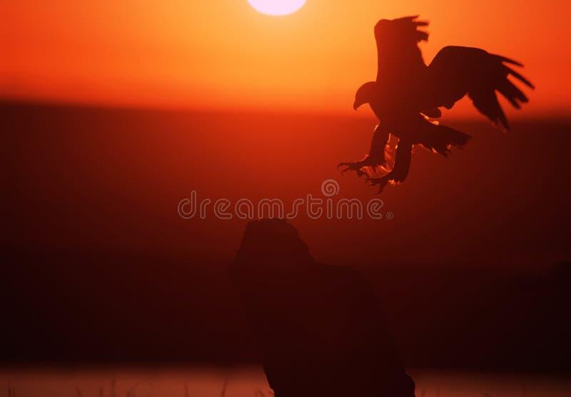 aigle d'or photographie stock libre de droits
