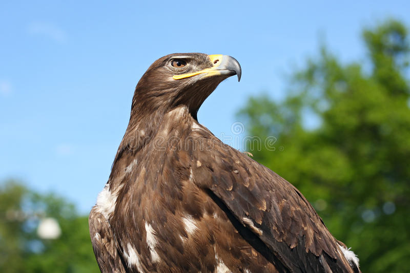 aigle d'or photographie stock