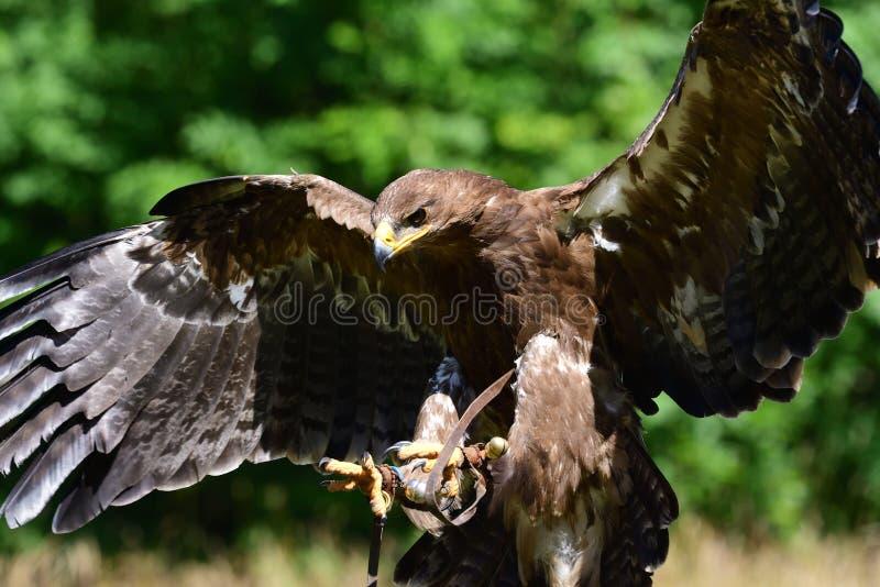 Aigle d'or Aquila Chrysaetos image libre de droits