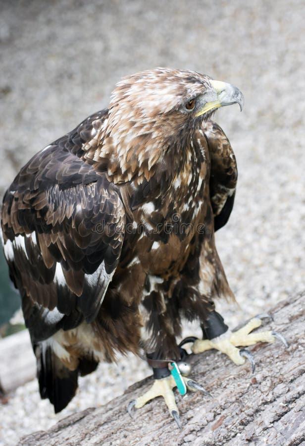 Aigle d'or (chrysaetos d'Aquila) en captivité photographie stock libre de droits