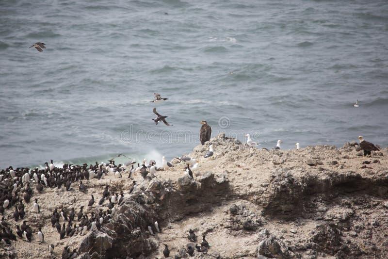 Aigle d'or et chauve avec les oiseaux marins photographie stock libre de droits