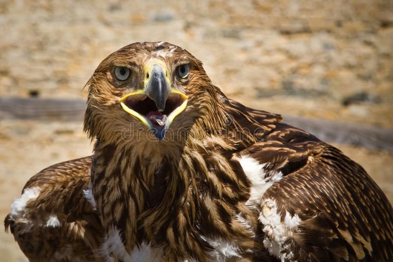 Aigle d'or, oiseau de proie, animaux et nature photographie stock libre de droits