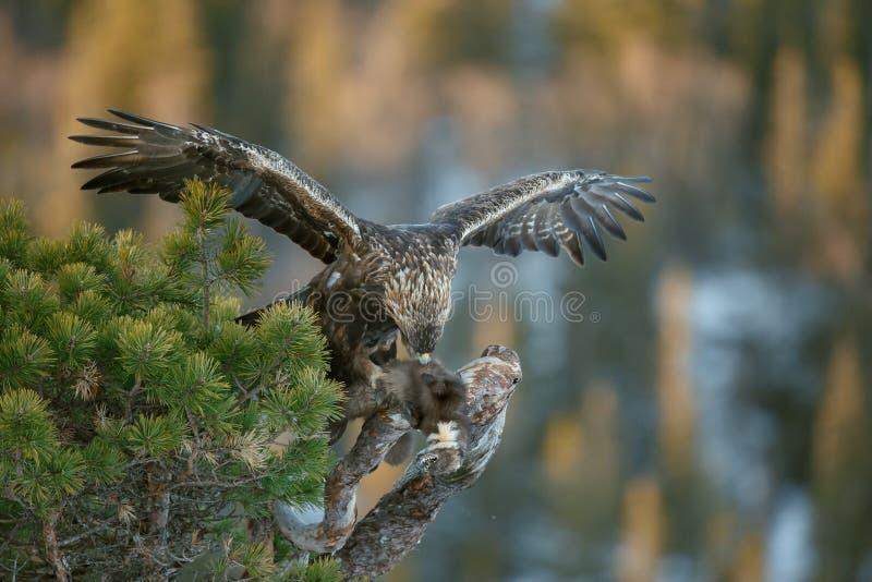 Aigle d'or sauvage images libres de droits