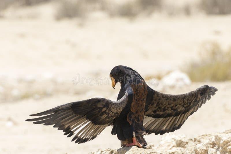 Aigle de Bateleur, ecaudatus de Terathopius, exposant au soleil, parc franchissant les frontières de Kgalagadi images stock