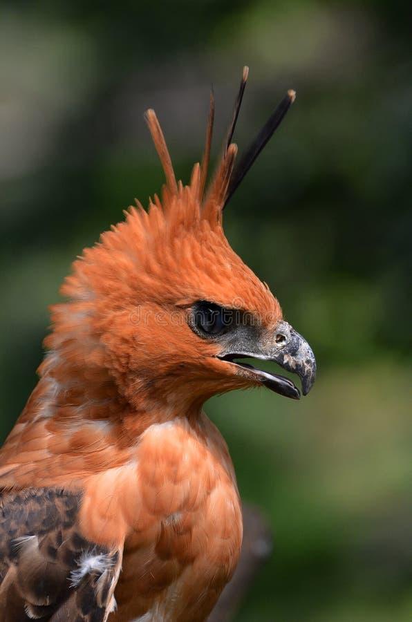 Aigle de faucon de Javan photo libre de droits