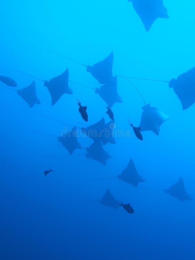 Aigle de mer photos libres de droits