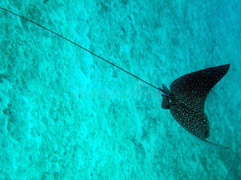 Aigle de mer images libres de droits