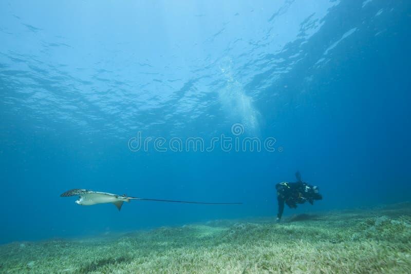 Aigle de mer, photographe sous-marin et océan image libre de droits