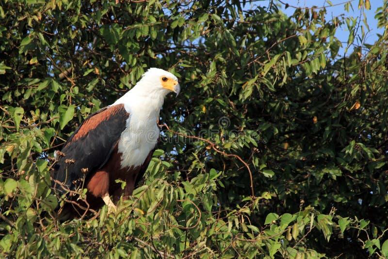 Download Aigle de poissons africain photo stock. Image du désert - 76090630