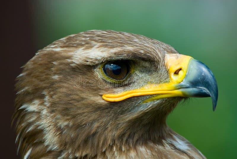 Aigle de steppe photographie stock