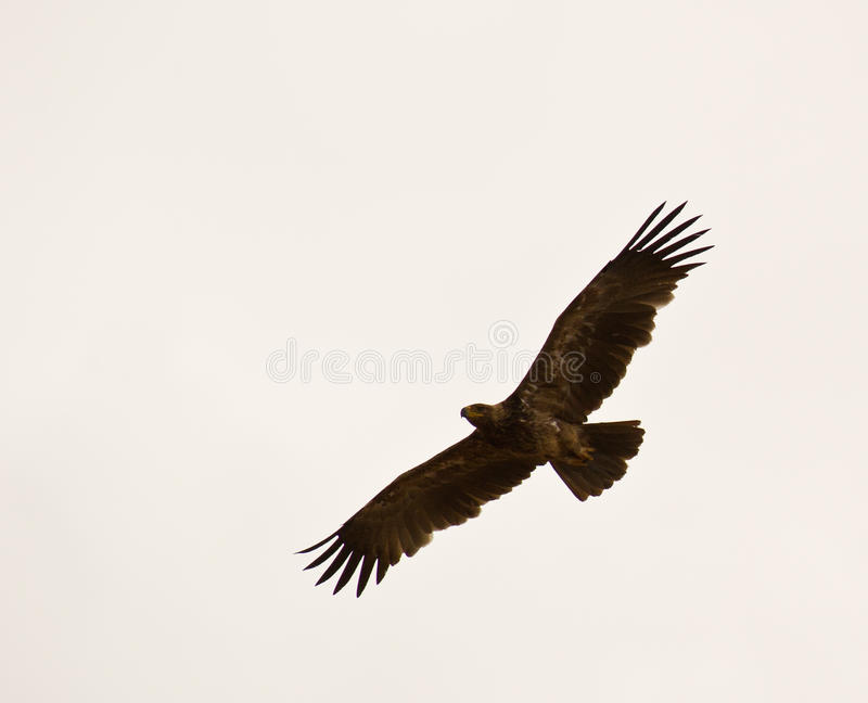 Aigle de steppe sur le vol image libre de droits