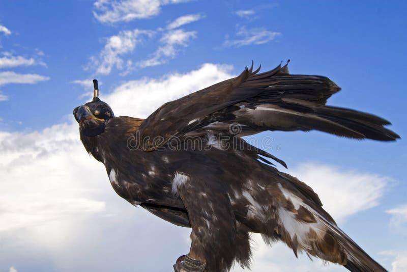 Aigle en le Kyrgyzstan image libre de droits