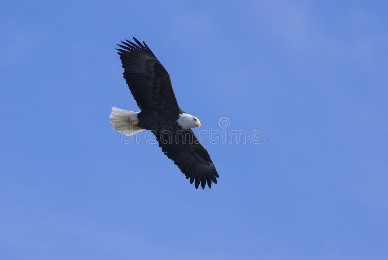 Aigle en vol 4 images libres de droits