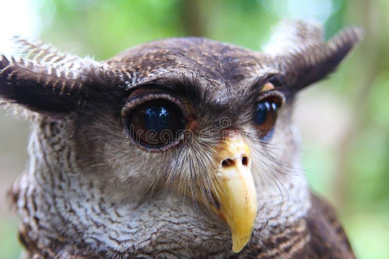 Aigle-hibou images stock