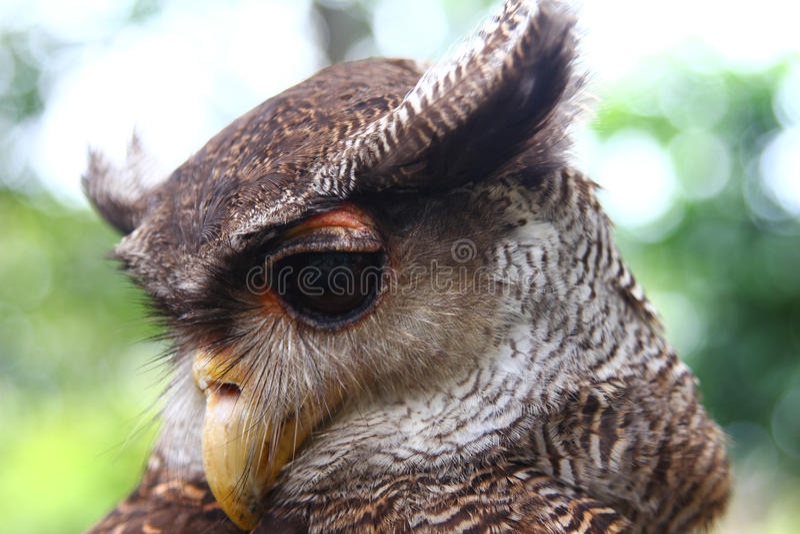 Aigle-hibou photographie stock libre de droits