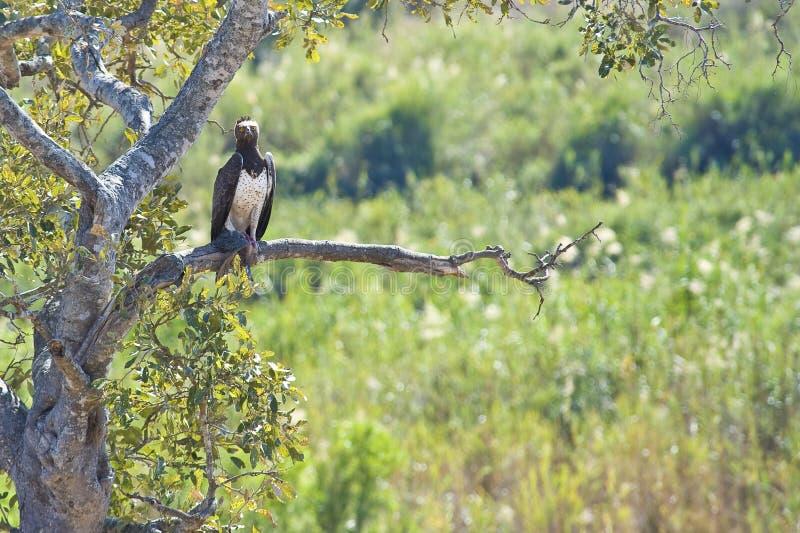 Aigle martial avec le loquet images libres de droits