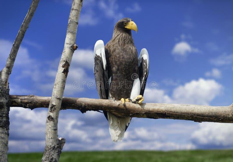 Aigle menaçant avec le bec jaune photo libre de droits