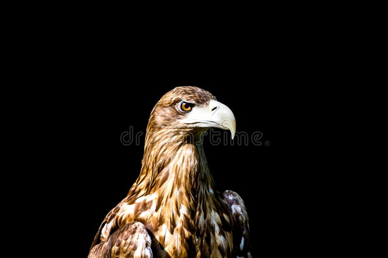 Aigle noble, photo sur un fond noir photographie stock libre de droits