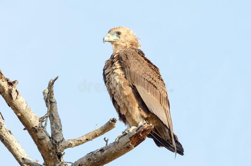 Aigle non mûr de Bateleur sur l'arbre mort image stock