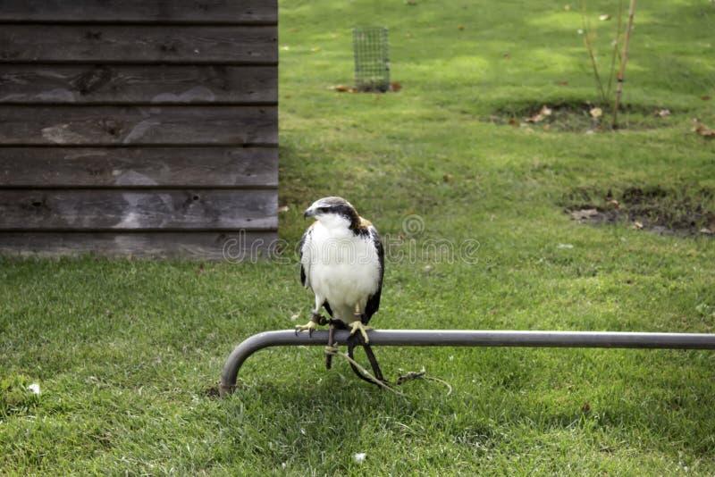 Aigle sauvage attaché photographie stock