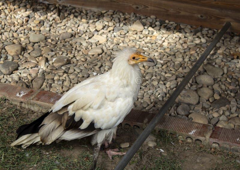 Aigle sauvage de Raptor image stock