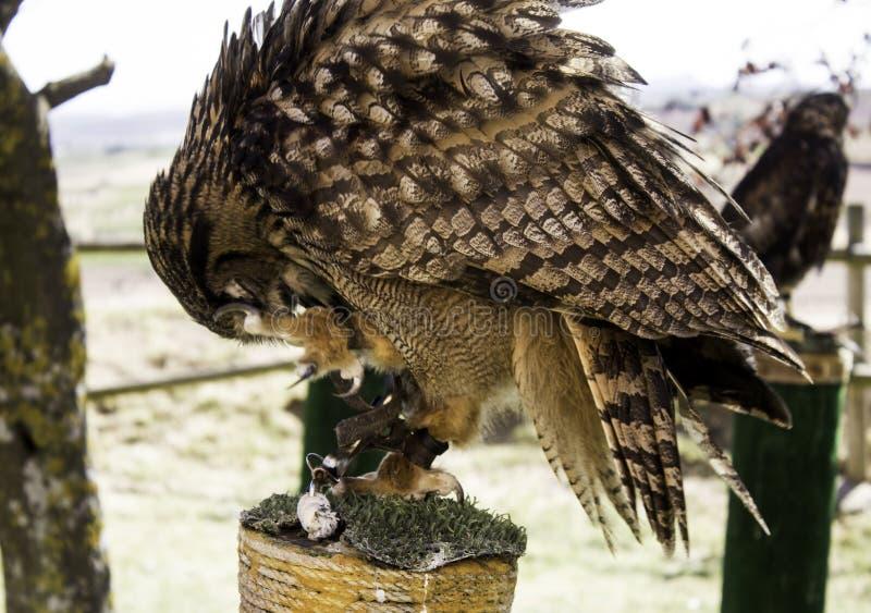 Aigle sauvage noir photos libres de droits