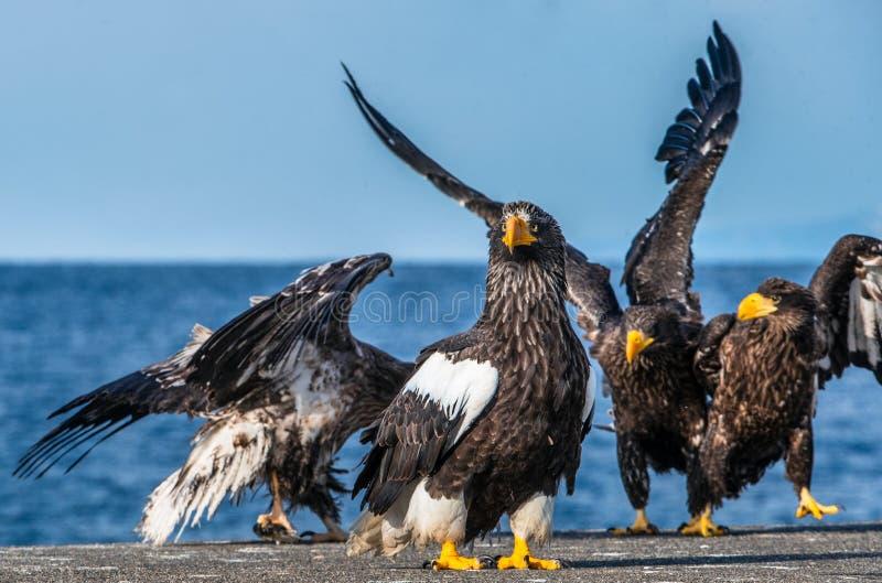 Aigles de mer de Steller Portrait haut étroit de l'aigle de mer de Steller photo libre de droits