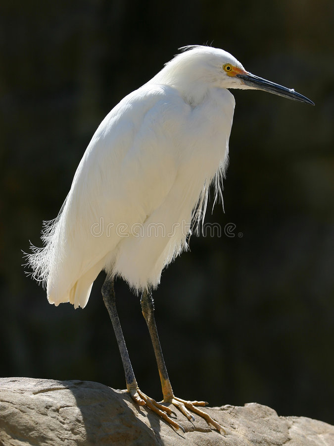 Aigrette royalty-vrije stock foto