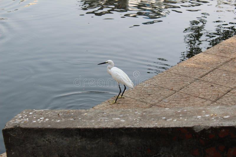 Aigrette bij een meer in Thane India royalty-vrije stock afbeeldingen