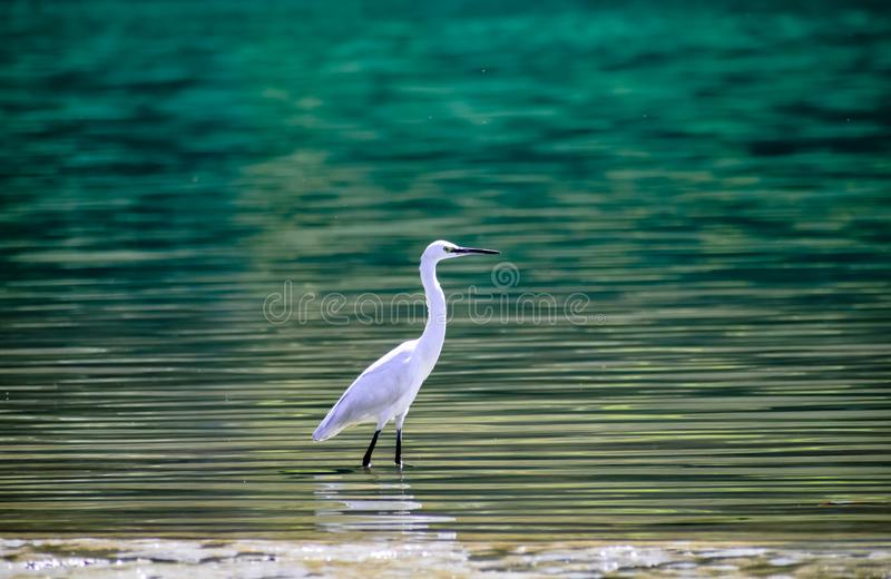 Aigrette in blauw water van ganga rishikesh mooie achtergrond royalty-vrije stock fotografie