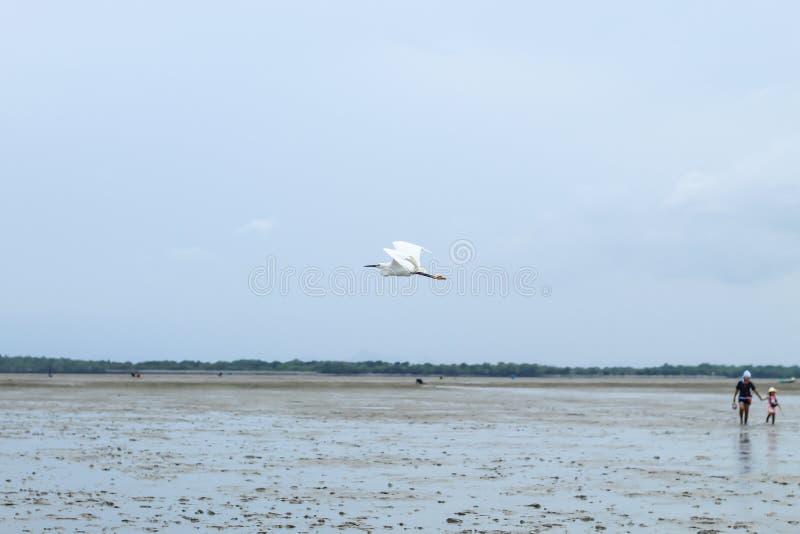 Aigrette die in het overzees bij Don Hoi-partij in Samut vliegen songkham royalty-vrije stock afbeeldingen