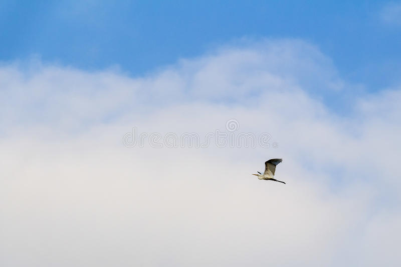 Aigrette early summer morning, Delta of river Ebro, Spain stock photography