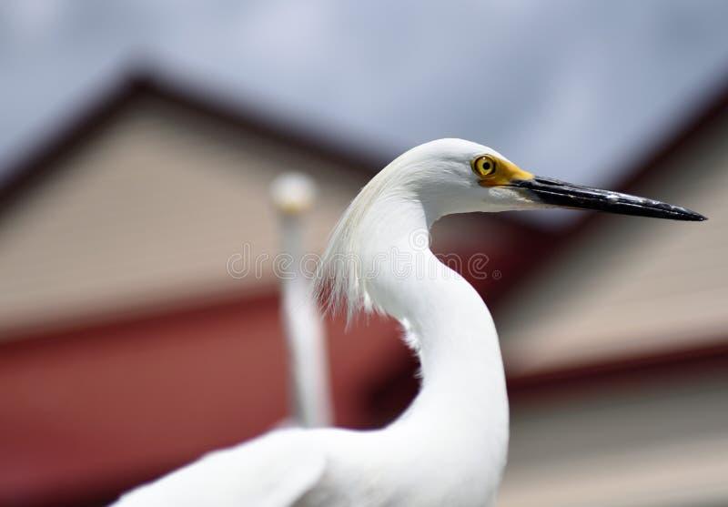 Aigrette het Stellen dicht omhoog in Florida stock foto