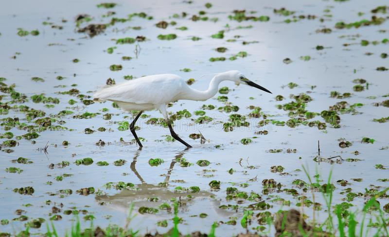 Aigrette in water stock foto's