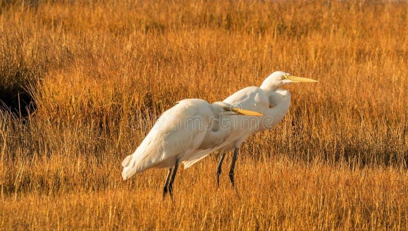 Aigrettes op het grasrijke moeras worden neergestreken dat royalty-vrije stock afbeelding
