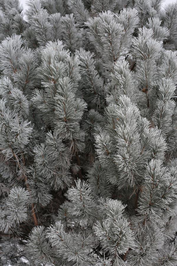 Aiguilles avec la gelée photographie stock libre de droits