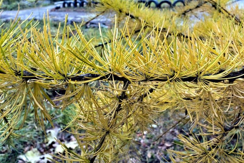 Aiguilles de mélèze d'automne photo libre de droits