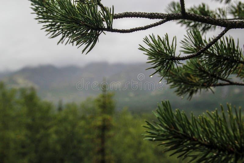 Aiguilles de pin avec des gouttes de pluie dans la forêt froide du nord photographie stock libre de droits