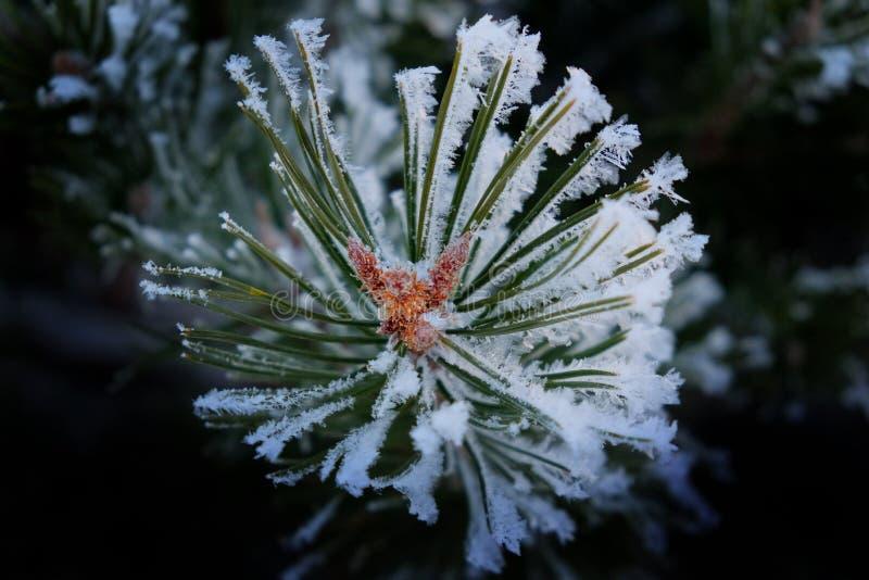Aiguilles de pin avec la neige et flocons de neige congelés sur eux image stock