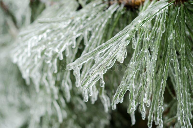 Aiguilles de pin de glace images libres de droits