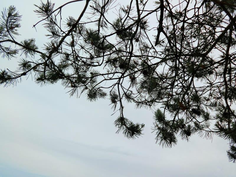 Aiguilles de pin noir sur le blanc photographie stock libre de droits